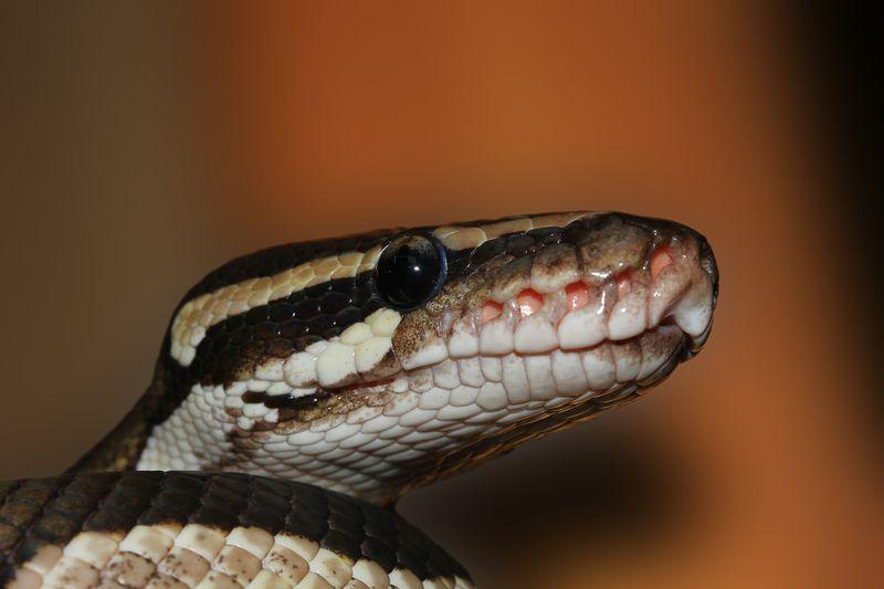 Diese Schlange wirst du nie wieder vergessen!