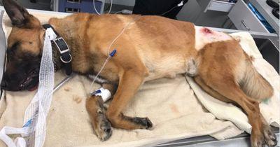 Held auf Pfoten: Polizeihund springt zwischen Kugel und Partner